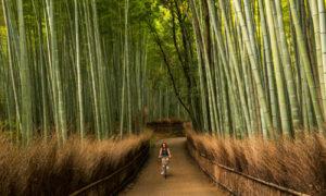 Khu rừng có hàng triệu cây tre thẳng tắp ở Nhật Bản